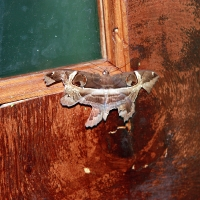 Large Moth